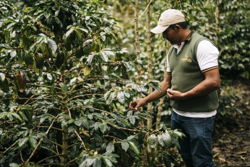 Image of Edgar Chasquero Ocaña picking coffee cherries